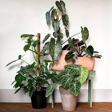 philodendron large indoor plants