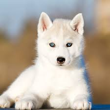 husky puppies for sale. Exellent For Throughout Husky Puppies For Sale PuppySpot
