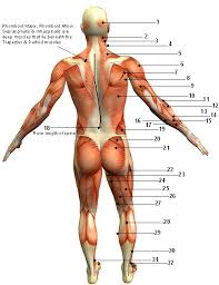 Muscle Diagram Of The Back Posterior Front Anterior