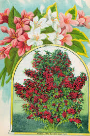 garden catalogues. free flower clip art: antique seed catalog page of weigelas roses garden catalogues