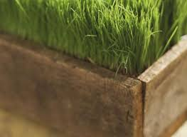 building large planter boxes wheatgrass in wooden planter