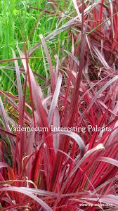 Vademecum Interesting Plants Pennisteum Advena Rozplenica Obca