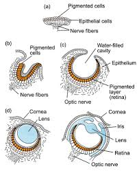 the evolution of the mollusc eye