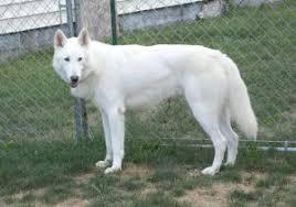 white german shepherd wolf mix puppy. Exellent Puppy White German Shepherd Mixed With Wolf Lol So Beautiful And White German Shepherd Wolf Mix Puppy T