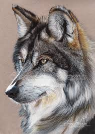 gray wolf drawing colored. Interesting Colored Grey Wolf By Sadness40deviantartcom On DeviantArt Inside Gray Wolf Drawing Colored Pinterest