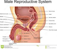 Female Reproductive System Chart Human Female Reproductive System Diagram Human Female