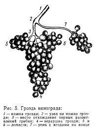 Реферат Сырье для производства виноградных вин Химический состав  Сырье для производства виноградных вин Химический состав виноградных вин