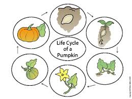 Image result for lifecycle pumpkin clipart
