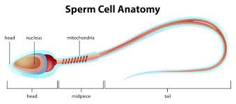 Image result for INFERTILITY SPERM PICS