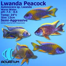 Lwanda Peacock Cichlid (Aulonocara sp 'Lwanda') 5cm - Aquarium Central