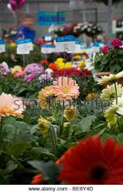california pack trials annual flower display at goldsmith seeds gilroy stock photo
