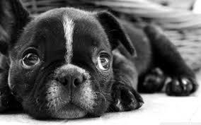 french bulldog puppy wallpaper. Exellent Puppy Wide  In French Bulldog Puppy Wallpaper U