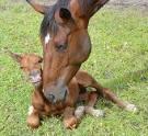 paard draagtijd