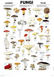 Mushroom Season Chart Edible Fungi Chart The Only Veggie That Will Grow Without