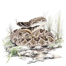 rattlesnake. Plain Rattlesnake Diamondback Rattlesnake Wildlife Tshirt With