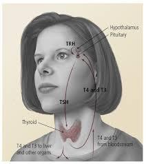figure 2 normal thyroid
