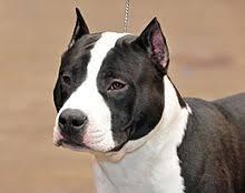 black american staffordshire terrier. Contemporary Black American Staffordshire Terrier With Cropped Ears On Black R