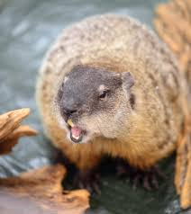 facts behind groundhog day news metrowest daily news  5 facts behind groundhog day news metrowest daily news framingham ma framingham ma