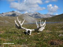 Outdoor hunting backgrounds Whitetail Musk Ox Bull Elk Tracks Alaska Desktop Backgrounds Outdoor Adventures