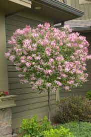 trees for front yard lilac tree