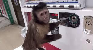 Monkey Vending Machine Mesmerizing Monkey Buys Juice From Vending Machine WeKnowMemes