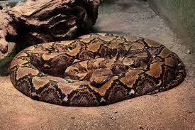 Самые длинные сухопутные животные фото Самые длинные сухопутные  Сетчатый питон broghammerus reticulatus фото новости о животных змеи фотография