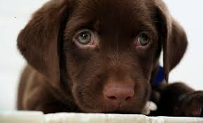 chocolate lab puppies wallpaper. Brilliant Chocolate Related Pictures Chocolate Labrador Dog Wallpaper  Intended Lab Puppies Cave