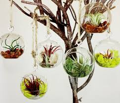 hanging globe terrarium perfect for anyone who likes natural beauty that needs minimal care and upkeep air plants gather all their nutrients from the air
