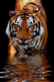 tiger iphone wallpaper. Fine Iphone 519tigeriphonehdwallpaper_640x960jpg 640960 Intended Tiger Iphone Wallpaper I