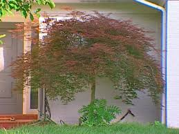 how to transplant a japanese maple