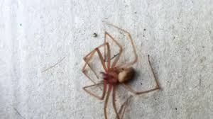 Brown Reclusr Venomous Brown Recluse Spider Found In Counties Brown