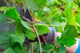 Pruning Grapes In Autumn Growing Plants Vineyard Pruning Shears