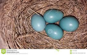 Light Blue Eggs In Nest Light Blue Robins Eggs In A Nest Stock Photo Image Of