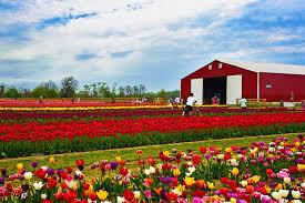 a celebration of tulips nj