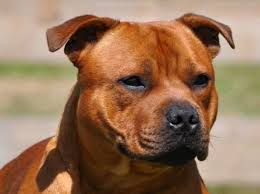 A blue nose pitbull is a type of pit bull, characterized by its blue colored nose and coat. Staffordshire Terrier Welpen Rassehunde Hunde Welpen Haustier Anzeiger