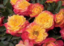 American Rose Size Chart Grow A Miniature Rose Indoors Hgtv