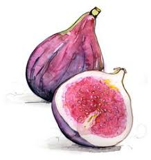 Image result for fig drawing