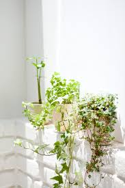5 Favorites Vines As Indoor Decor  GardenistaClimbing Plants Indoor