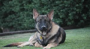 German Shepherd Exercise Chart Most Important Introductory Guide On The Czech German Shepherd