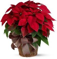 Large Red Poinsettia Flowers