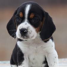 beagle puppies. Simple Beagle And Beagle Puppies P