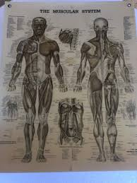Anatomy Chart Muscular System Vintage Anatomical Chart The Muscular System Copyright 1947