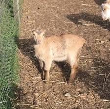 Mini Lamancha Goats 100 Port Orchard Garden Items For