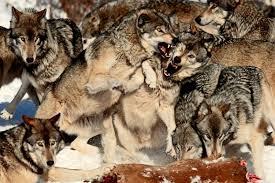 gray wolf pack in forest. Brilliant Forest In Gray Wolf Pack Forest