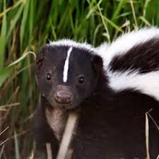 skunk removal cost. Plain Skunk Skunk Removal For Cost