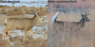 A Quick Guide To Differentiate Mule Deer From White Tailed
