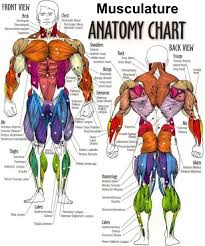 Muscular System Anatomical Chart Hd Google Search 2019