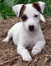 black and white jack russell terrier mix. Modren Jack A Smoothcoated Jack Russell Terrier Puppy On Black And White Terrier Mix