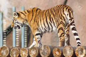 Walking Logs Tiger Walking On Logs Stock Photo Picture And Royalty Free Image