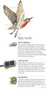 Whats Killing The Worlds Shorebirds Scientific American